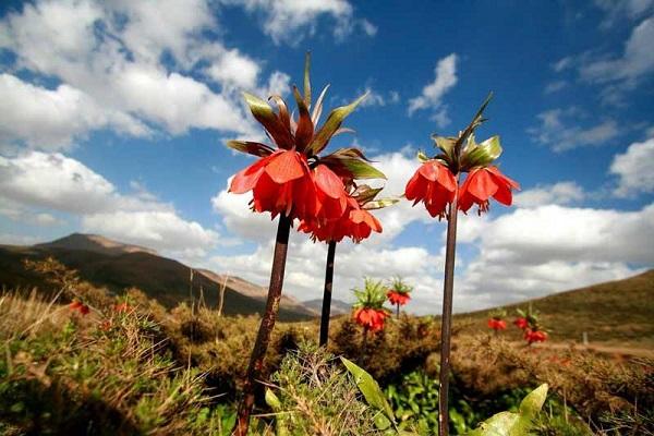 گیاهان کوهستانی ایران | عاشقان طبیعت ایران | آشنایی با گیاهان کوهستانی ایران